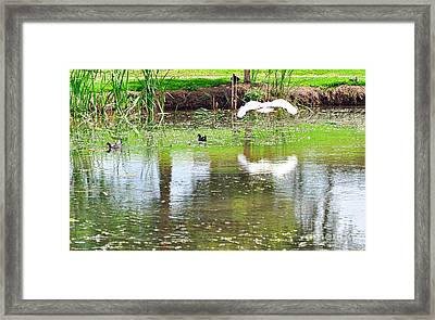 Ibis Over His Reflection Framed Print by Kaye Menner