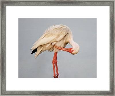 Ibis Preening Framed Print by Paulette Thomas