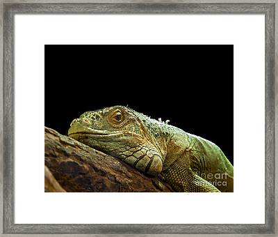 Iguana Framed Print by Jane Rix