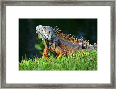 Iguana Poses  Framed Print by Joe Myeress