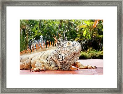 Iguana Framed Print by Showing the world ..
