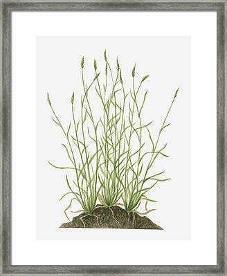 Illustration Of Anthoxanthum Odoratum (sweet Vernal Grass) Wild Grass With Flower Spikes Growing On Mound Framed Print by Valerie Price