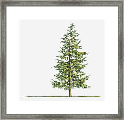 Illustration Of Large Evergreen Tsuga Heterophylla (western Hemlock) Tree Framed Print by Sue Oldfield