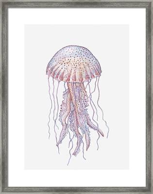 Illustration Of Mauve Stinger Jellyfish (pelagia Noctiluca) Framed Print by Dorling Kindersley