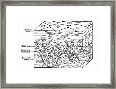 Illustration Of Stratified Squamous Framed Print by Science Source