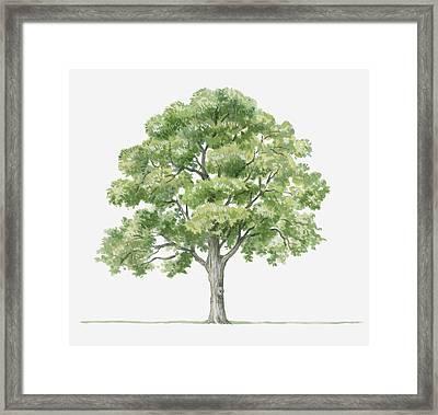 Illustration Showing Shape Of Quercus Ilex (holm Oak) Tree Bearing Green Foliage Framed Print by Dorling Kindersley
