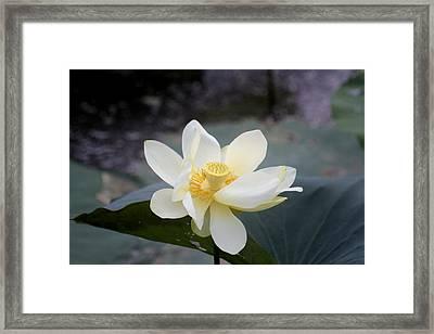 In Full Bloom Framed Print by Douglas Barnard