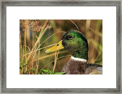 In The High Weeds Framed Print by Karol Livote