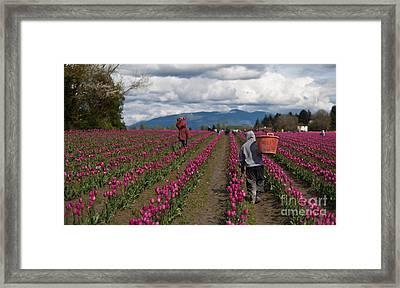 In The Tulip Fields Framed Print by Mike Reid