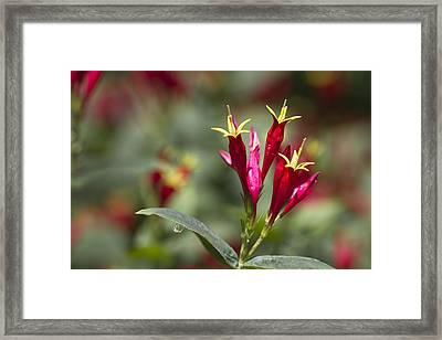 Indian Pink - Spigelia Marilandica - Firecracker Wildflowers Framed Print by Kathy Clark