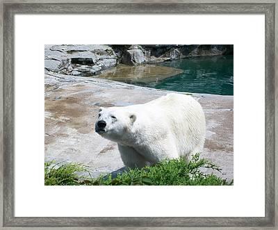 Indifferent Polar Bear Framed Print by Kelsey R Marquart