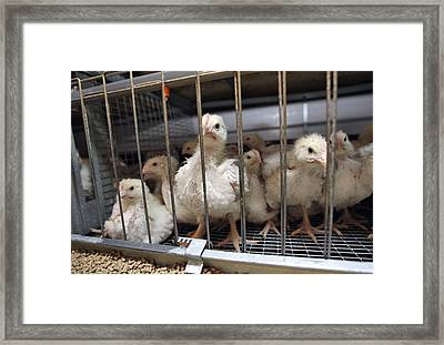 Intensive Chicken Farming Framed Print by Ria Novosti