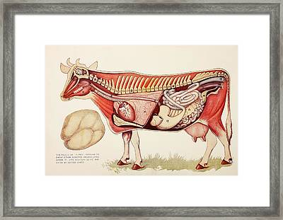 Internal Organs Of A Cow Withn The Framed Print by Ken Welsh