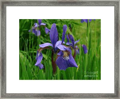 Irises Framed Print by Randi Shenkman
