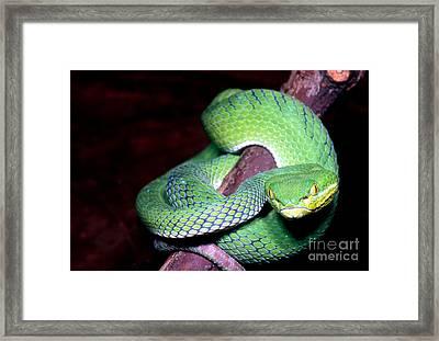 Island Pit Viper Framed Print by Dante Fenolio