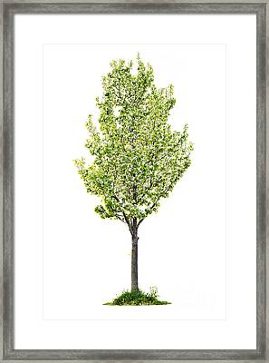 Isolated Flowering Pear Tree Framed Print by Elena Elisseeva