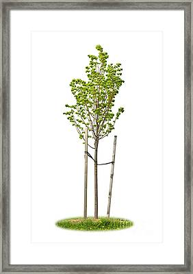 Isolated Young Linden Tree Framed Print by Elena Elisseeva