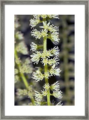 Itea Sp Framed Print by Dr Keith Wheeler