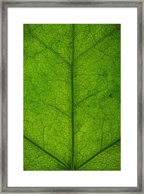 Ivy Leaf Framed Print by Steve Gadomski