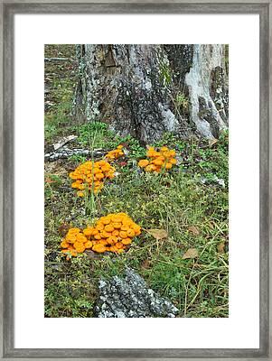 Jack Olantern Mushrooms 16 Framed Print by Douglas Barnett
