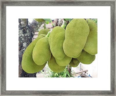 Jackfruit (artocarpus Heterophyllus) Framed Print by Bjorn Svensson