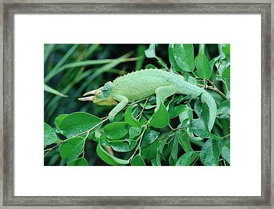 Jacksons Chameleon Chamaeleo Jacksonii Framed Print by Gerry Ellis