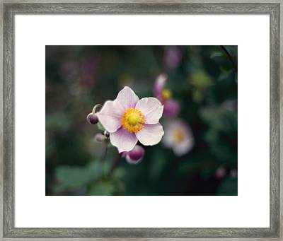 Japanese Anemone  Framed Print by Marcio Faustino