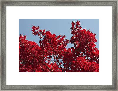 Japanese Red Maple In Flaming Autumn Framed Print by George Grall