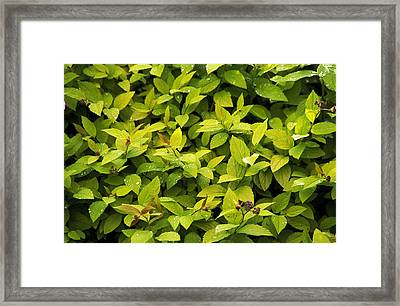 Japanese Spirea (spirea 'gold Flame') Framed Print by Archie Young