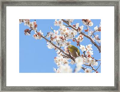 Japanese White-eye At Which It Looks Framed Print by Yuji Takahashi