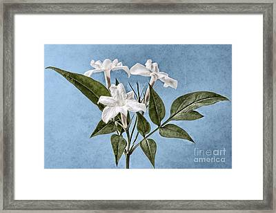 Jasminum Officinale Framed Print by John Edwards