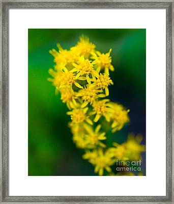 Jasper - Canada Goldenrod Wildflower Framed Print by Terry Elniski
