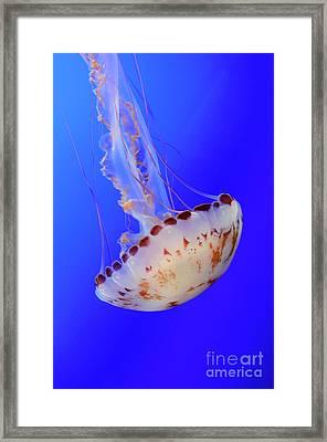Jellyfish 4 Framed Print by Bob Christopher