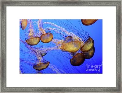 Jellyfish 6 Framed Print by Bob Christopher