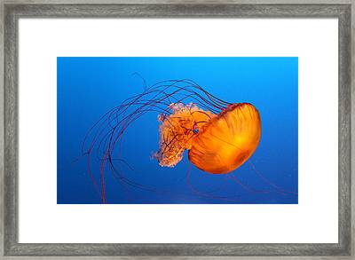 Jellyfish Framed Print by Viviana Singh