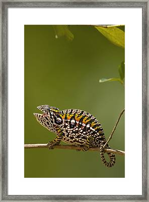Jeweled Chameleon Furcifer Lateralis Framed Print by Pete Oxford
