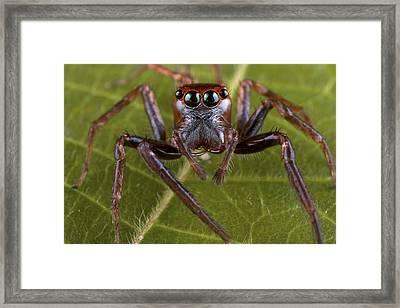 Jumping Spider Papua New Guinea Framed Print by Piotr Naskrecki