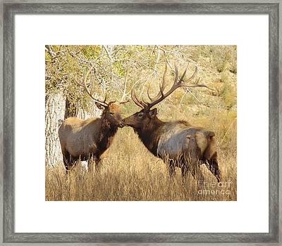 Junior Meets Bull Elk Framed Print by Robert Frederick