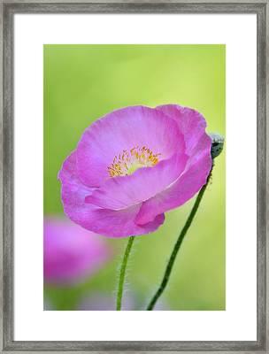 Just Call Me Pink Framed Print by Saija  Lehtonen