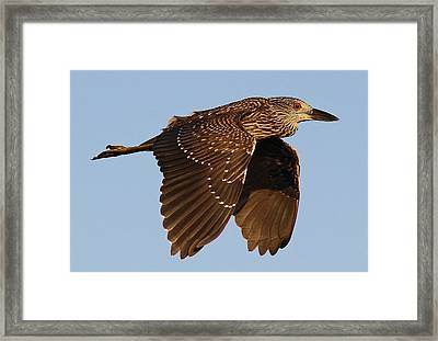 Juvenile Black Crowned Night Heron In Flight Framed Print by Paulette Thomas