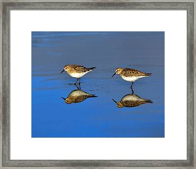 Juvenile White-rumped Sandpipers Framed Print by Tony Beck