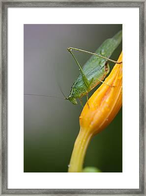 Katydid Framed Print by Karol Livote
