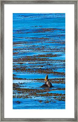 Kelp And Sea Lion Framed Print by Adam Pender
