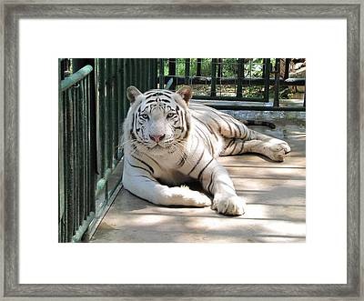 Kimar The White Tiger Framed Print by Keith Stokes