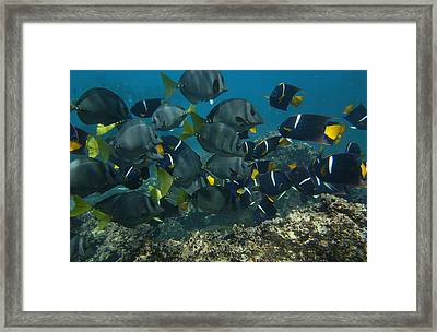 King Angelfish Holacanthus Passer Framed Print by Pete Oxford