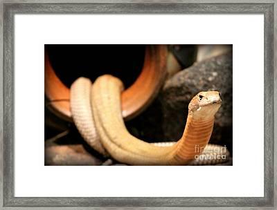King Cobra Framed Print by Megan Wilson