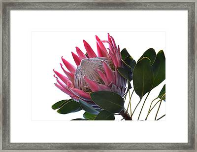 King Protea. Framed Print by Terence Davis