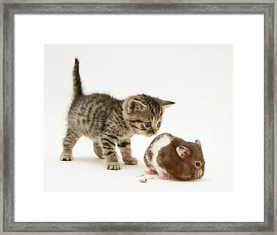 Kitten And Hamster Framed Print by Jane Burton