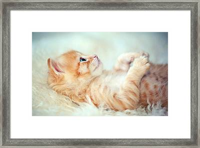 Kitten Lying On Its Back Framed Print by Susan.k.