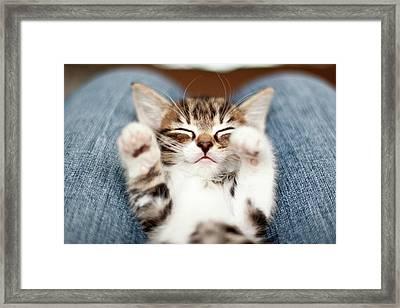 Kitten On Lap Framed Print by Fjola Dogg Thorvalds